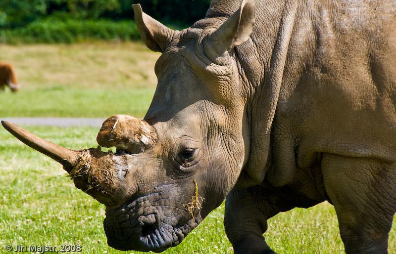 A rhino in Woburn