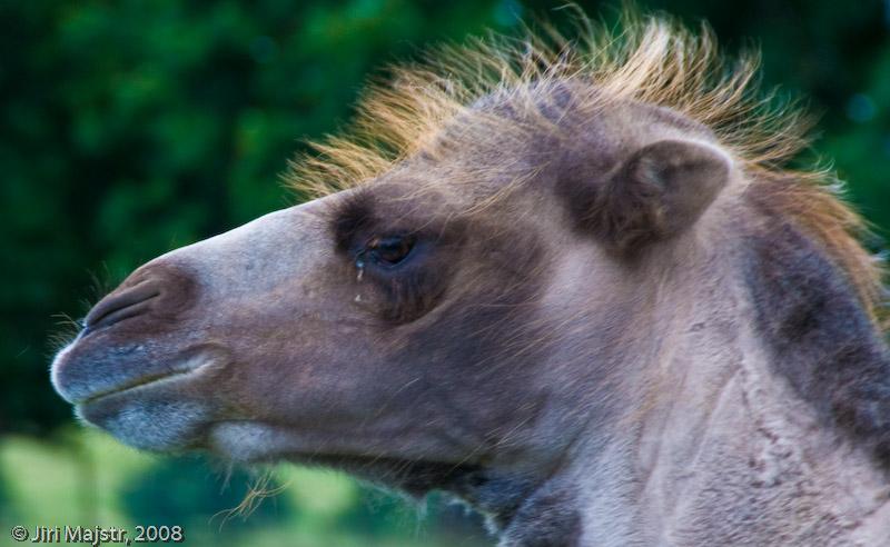 Woburn Camel